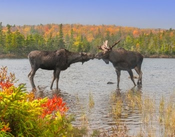Two large moose standing in a river surrounded by fall colored leaves