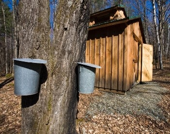 Tree with two metal buckets under taps for maple syrup with wood shed beside